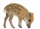 Wild boar, Sus scrofa, also known as wild pig, 2 months old,standing and looking down, isolated on w