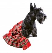 stock photo of kilts  - Scotch terrier in a red classical kilt sitting on a white background - JPG