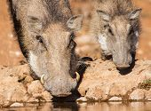 Warthog Sow And Piglet Drinking Water In The Early Morning Su