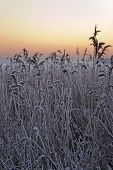 Frosty Reed In Front Of A Winter Sunrise