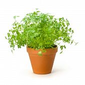 Chervil in a clay pot on a white background