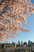 Cherry Blossoms over Vancouver