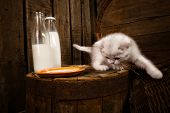 White Persian pussy cat with milk on wooden  background
