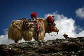 foto of yaks  - a rare white yak with blue sky - JPG