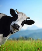 stock photo of dairy cattle  - Head of funny cow looking to a camera with Alps and green meadow on the background - JPG