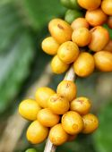 Arabica Coffee Beans Color Yellow Ripening On Tree In North Of Thailand