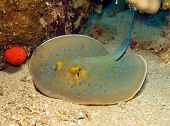 picture of stingray  - A beautiful blue spotted stingray  - JPG