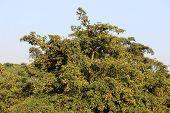 sapodilla trees