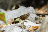 stock photo of babbler  - beautiful Limestone Wren Babbler  - JPG