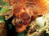 Dwarf scorpionfish