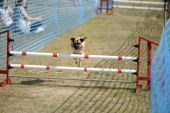 Boston Terrier, Demonstrating Surprising Agility By Jumping Over A Hurdle At A Dog Show