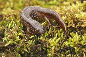 Northern Dusky Salamander ( Desmognathus Fuscus )
