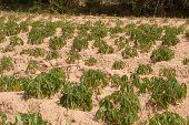 Cassava Growers .