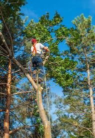 foto of arborist  - An Arborist Cutting Down a Tree Piece by Piece - JPG
