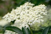 Closeup Of Elder Flower Sambucus Nigra