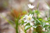 Snowdrop Anemone Flower In Spring