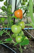 Branch Of Ready To Ripen Tomatoes