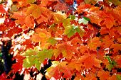 Maple tree leaves in automn