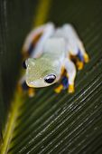 pic of red eye tree frog  - Red eye tree frog - JPG
