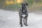 Adult Male Dogo Canario Dog
