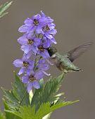 Hummingbird Purple Flowers