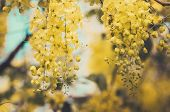 stock photo of cassia  - Golden shower or Cassia fistula flower in the garden or nature park Thailand vintage - JPG