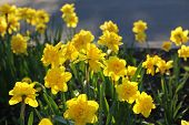 foto of narcissi  - Close up of beautiful bright yellow Daffodils