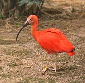 Scarlet ibis on  zoo