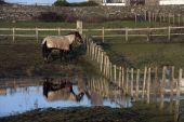 Horses In A Wet Field
