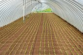 Rows Of Seedlings Planted In A Tunnel