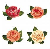 Roses isolated on white. Vector illustration.