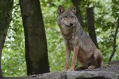 stock photo of lupus  - Beautiful gray wolf (Canis Lupus) sitting in the forest, on the lookout for something.