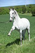 White Lipizzaner Showing Itself