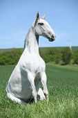 image of lipizzaner  - Amazing sitting white horse in spring nature - JPG