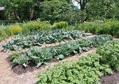 stock photo of leafy  - Mature vegetable garden with leafy greens and veggies - JPG