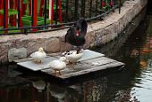 picture of duck pond  - black swan and three duck near the pond - JPG