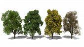 Quercus Robur (four Seasons)