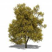 Quercus Robur (autumn)