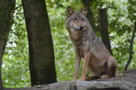 picture of lupus  - Beautiful gray wolf (Canis Lupus) sitting in the forest, on the lookout for something. ** Note: Soft Focus at 100%, best at smaller sizes - JPG