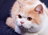 Studio portrait of red white british short hair kitten with orange eyes