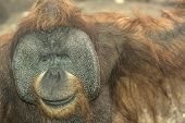 Orangutan close up