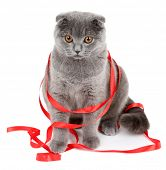 Sitting British cat with red ribbon isolated on white