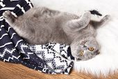 British short hair cat lying on fur rug with plaid on wooden background
