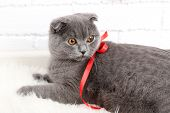 Lovely British short hair cat with hearts and ribbon on fur rug on brick wall background