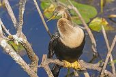 Female Anhinga In The Everglades