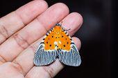 Peridrome Orbicularis Moth