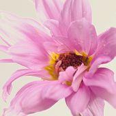 A close up of an elegant pink flower.