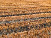 Beautiful crop-field (full size)