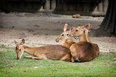 Eld's Deer (panolia Eldii)