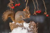 Squirrels Little Chrismas